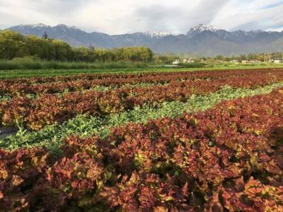 レタスの収穫