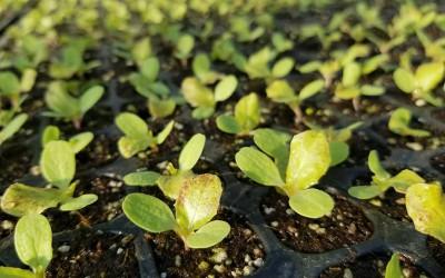 サニーレタスの苗に本葉が出ました。