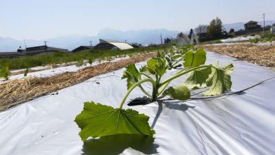 夏野菜、植付始めました